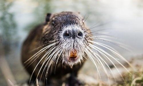Đây là giống chuột sông sinh sống ở miền Nam nước Nga.