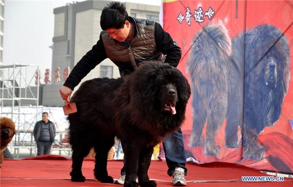 Chó Ngao khổng lồ là 1 trong số 200 con chó khác có mặt tại buổi triển lãm.