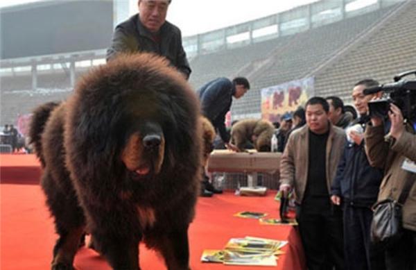 Chú chó Ngao này cócó chiều cao 91 cm, cânnặng hơn 100 kg và sở hữu vẻ ngoài trông giống sư tử.