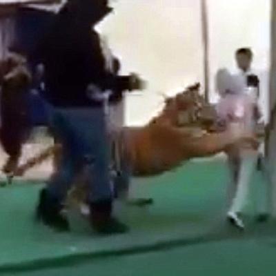 Khoảnh khắc kinh hoàng khi bé gái bị hổ cưng của người lạ tấn công trong chợ.