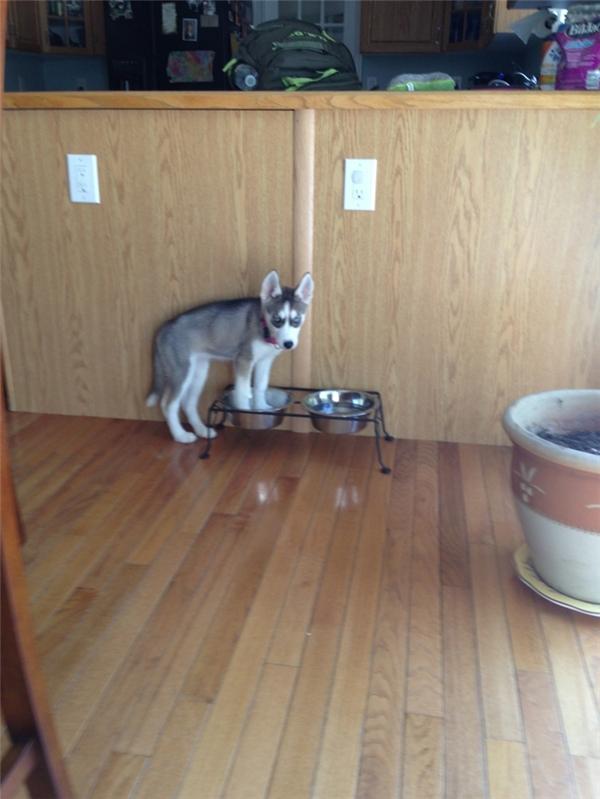 Đói quá mà husky chưa có đồ ăn thì husky quậy thôi.