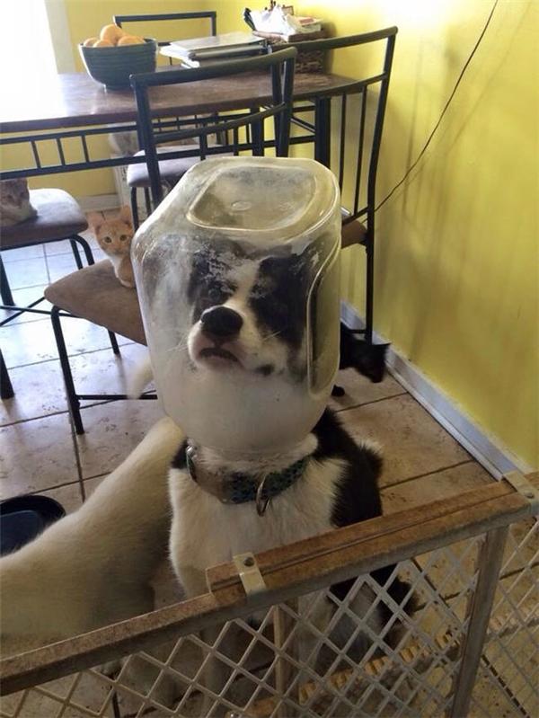 Mở cửa bước vô nhà, người ta bắt quả tang husky đang vơ vét đến miếng thức ăn cho mèo cuối cùng.
