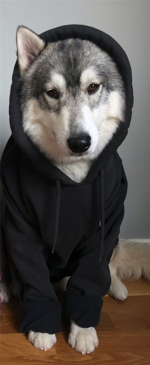 Chỉ đến khi nào người ta đội cái mũ lên cho husky, husky mới chịu im lặng.