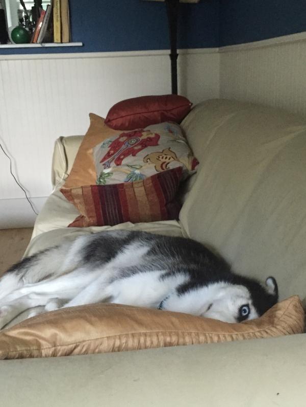 Đừng tưởng dễ mà qua mặt được husky. Husky luôn dõi theo bạn kể cả trong giấc ngủ.