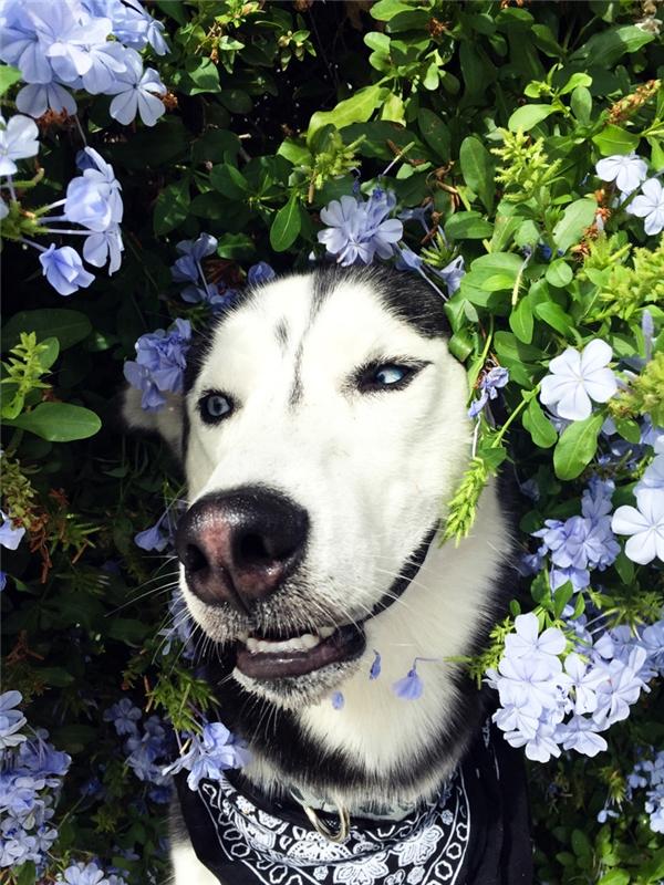 Husky sửa soạn thật kỹ để chuẩn bị đi cua gái đây.