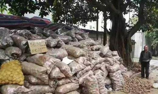 """32 tấn khoai """"khổng lồ"""" được chở đến Thâm Quyến."""