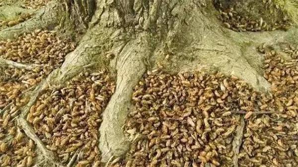 Ở Mỹ, rất nhiều trẻ em và bà nội trợ sỡ hãi loài côn trùng này bởi trong khoảng thời gian kén ve sầu chui lên từ mặt đất, tại đồng ruộng, vườn tược, và sân nhà, thậm chí là trong phòng, khắp nơi đều có ve sầu.