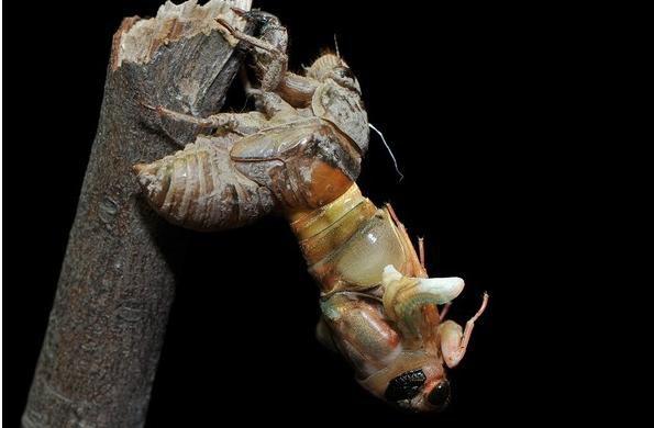 Số lượng ve sầu lột xác quá lớn vào mùa hè hàng năm tại Mỹ khiến chúng trở thành loài côn trùng biết bay đáng ghét và ghê rợn.