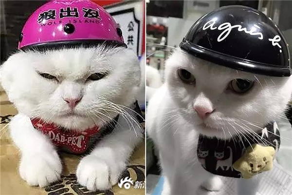 Để bảo vệ cho mèo cưng, một người chủ tại Trung quốc quyết định trang bị cho chú mèo một chiếc mủ bảo hiểm cực phong cách.