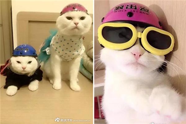 Thích thú với chú mèo đội mũ bảo hiểm đang gây sốt cộng đồng mạng