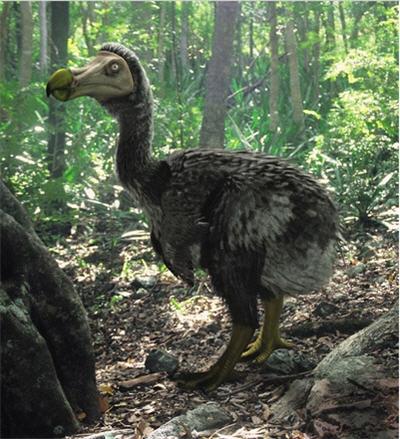Loài chim này đã tuyệt chủng do sự săn bắn của con người.
