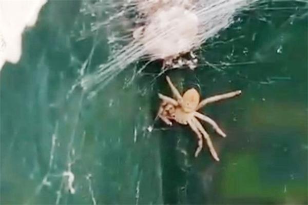 Kinh hoàng phát hiện hàng trăm con nhện lúc nhúc làm tổ trong nhà