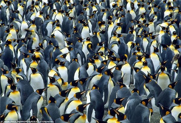 Những con chim cánh cụt hoàng đế thay nhau tranh giành chỗ tại miền Nam Georgia.