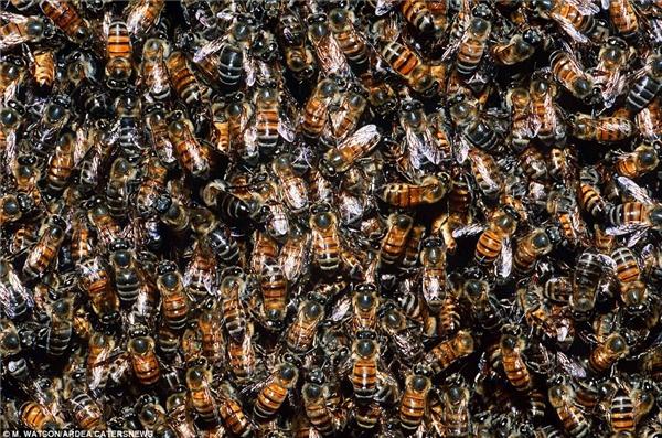 """Lí do cho sự di cư của động vật rất đa dạng, có thể là tìm kiếm nguồn thức ăn và nước uống lí tưởng hay nơi sinh sản tương đồng. Bạn có cảm thấy """"nổi da gà"""" khi xem hằng hà đa số con ong mật trong ảnh này không?"""