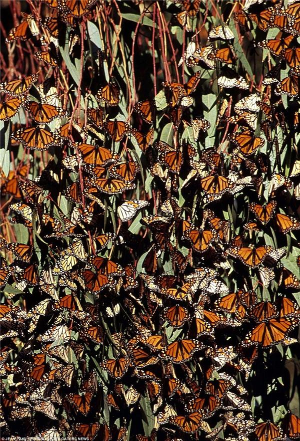 """Hàng ngàn cá thể của loài bướm Monarch đang """"nghỉ lại sức"""" trên cây tại Bắc Mỹ. America. Nhiều nhà khoa học tin rằng các loài côn trùng sở hữu khả năng định vị như la bàn, giúp chúng dễ dàng tìm ra phương hướng khi di chuyển."""