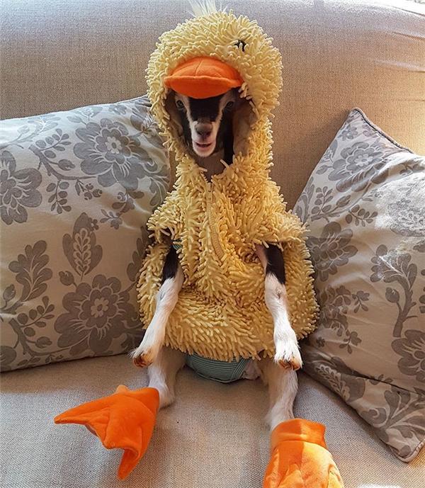 Cô dê Polly trước đây luôn trong tình trạng cáu bẳn cho đến khi mặc bộ quần áo con vịt này vào.(Ảnh: Bored Panda)