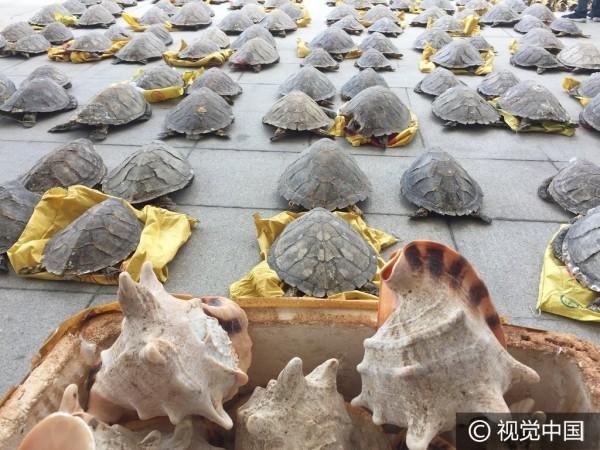 Một lượng lớn đầu và mai rùa bị lực lượng hải quan Trung Quốc thu giữ gây phẫn nộdư luận.