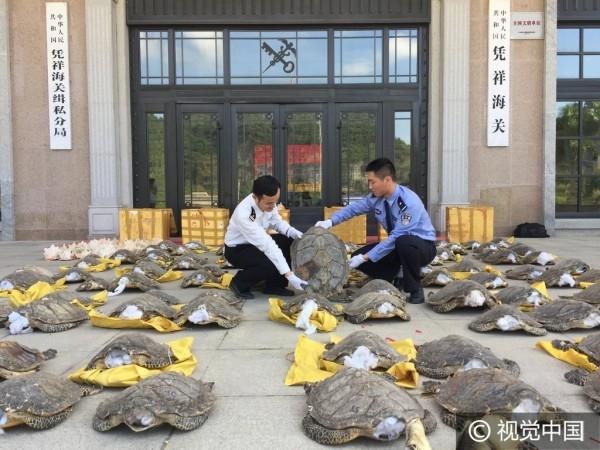 Số phận của những conrùa trên sẽ đi về các cơ sở chế biến thuốc nhằm tạo ra cao rùa được cho là quý hiếm trong Đông y.