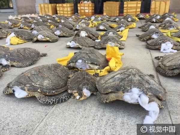 Kinh hoàng cảnh rùa biển bị rút đầu, nhồi bông để làm thuốc