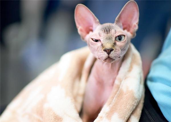 Chú mèo được quảng cáo là giống Sphynx khi vừa được mua về, có đôi tai to, dài cùng khuôn mặt hình tam giác không có ria,và toàn thân trụi lông.