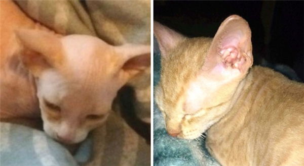 Chi 16 triệu mua mèo quý, tá hỏa khi phát hiện sự thật kinh hoàng