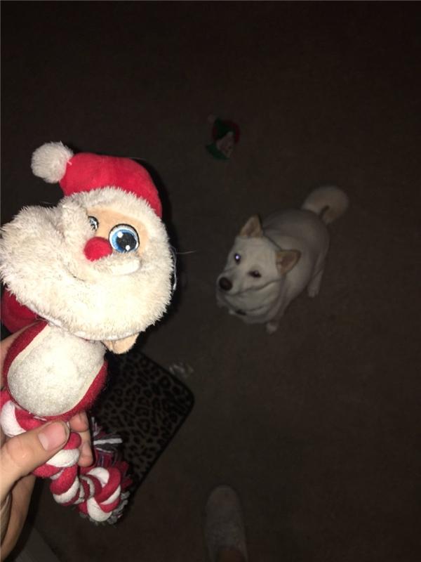 Thú vị với chú chó mê tít ông già Noel hơn bất cứ gì trên đời