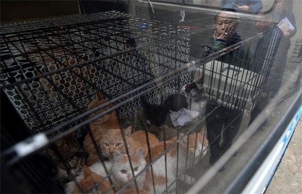 Trên thực tế thì, lũ mèo tại nhà ông Huang bị nhốt trong các chuồng chật hẹp, cao không quá 20cm.