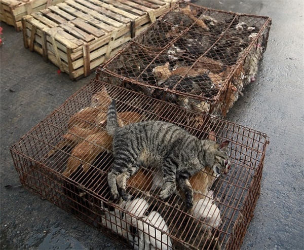 Hắn cũng thú nhận, mỗi ngày có hơn 100 con mèo được giết thịt tại đây rồi bán cho các tay lái buôn từ phía nam Trung Quốc đến với giá chỉ khoảng gần 60 nghìn đồng/1 kg.