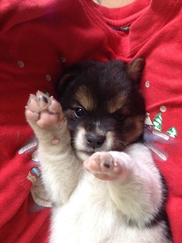 Ngày bé chú chó cũng có phần lôngởđầu màuđen rất bình thường.