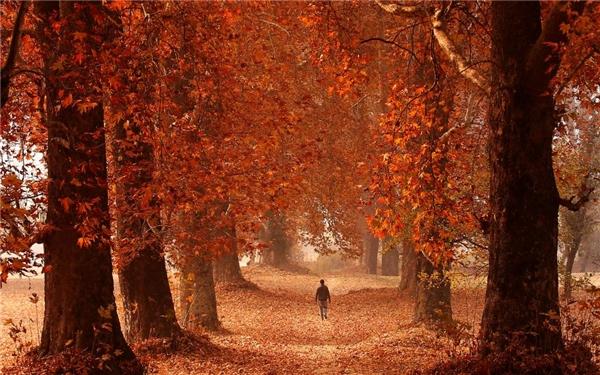 15/11: Một người đàn ông bước đi giữa khu vườn rực lá đỏ vào một ngày mùa thu ở Srinagar, Kashmir.