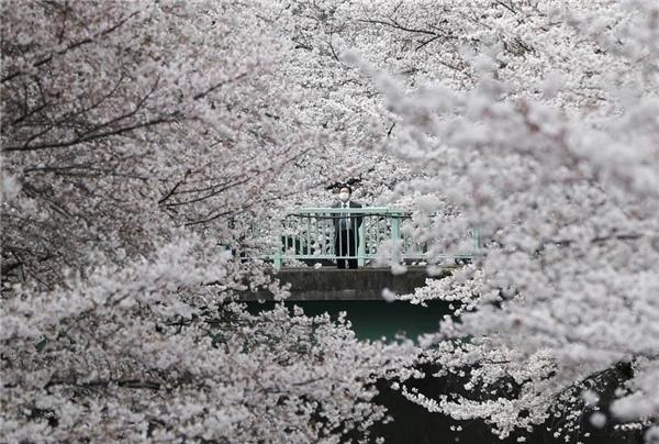 01/04: Một doanh nhân đang đứng trên cầu ngắm hoa anh đào nở rộ ở Tokyo, Nhật Bản.