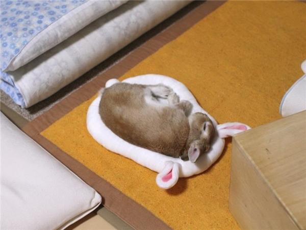 Mọi người cứ sống nhanh, sống gấp vì cơm áo gạo tiền, chú thỏ con này vẫn đệm êm say giấc nồng.