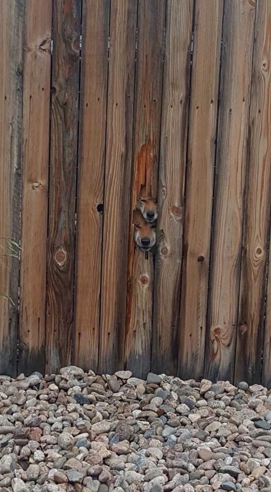 """Khổ thân các bạn trẻ đục lỗ hàng rào ngụy trang """"hóng hớt"""" chuyện hàng xóm."""