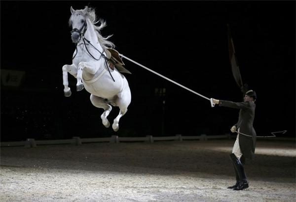 Một khoảng khắc như tranh vẽ, nhanh chóng được chộp lại khi chú ngựa bạch đến từ trường cưỡi ngựa Spanish Riding School của Áo đang tung bay trên không,dưới sự điều khiển của người biểu diễntại Arena, London, Anh vào ngày 10/11/2016.