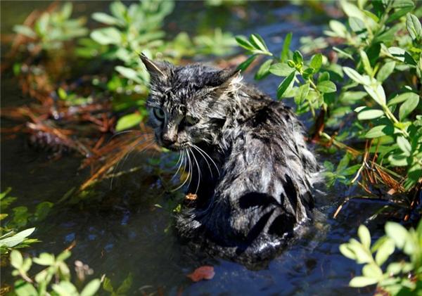 Chú mèo cau có ngâm mình trong dòng nước lũ từ cơn bão Matthew ở vùng ngoại ô Nichols, Bắc Carolina.