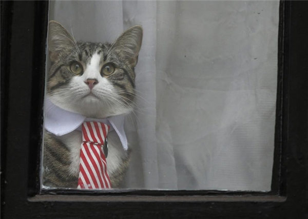 Chú mèo của Julian Assange, nhà sáng lập WikiLeaks, ngồi bên cửa sổ của tòa đại sứ Ecuador ở London.