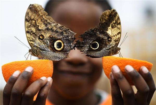 Cậu bé cùng hai chú bướm tại một cuộc triển lãm bướm diễn ra ở Bảo tàng Lịch sử Tự nhiên London.