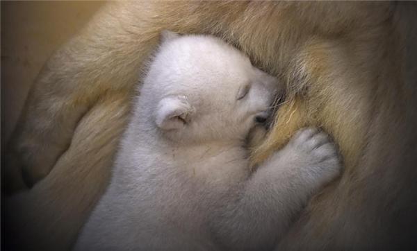 Chú gấu trắng Bắc Cực rúc vào người mẹ tại Vườn thú Bremerhaven, Đức.