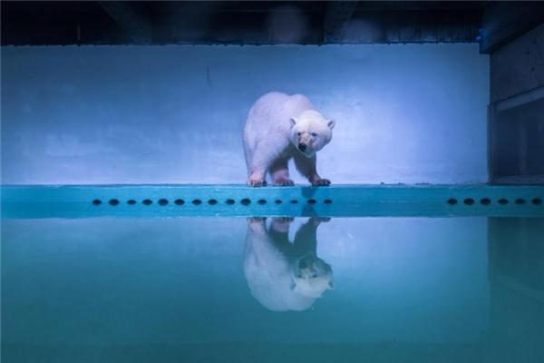 Chú gấu trắng Bắc Cực soi bóng bên chiếc bể tại Quảng Châu, Quảng Đông.