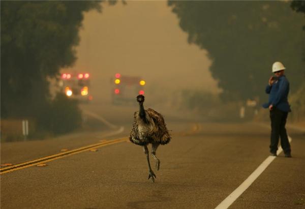 Chú đà điểu chạy trốn khỏi một đám cháy ở Potrero, California.