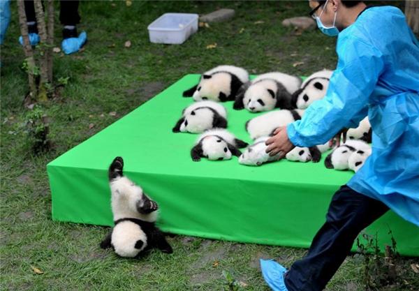 Một chú gấu trúc con té lộn nhào khỏi chiếc bục làm nơi trưng bày 23 chú gấu trúc ra đời trong năm 2016 tại Trung tâm Nghiên cứu và Gây giống Gấu trúc Thành Đô, Thành Đô, Tứ Xuyên.