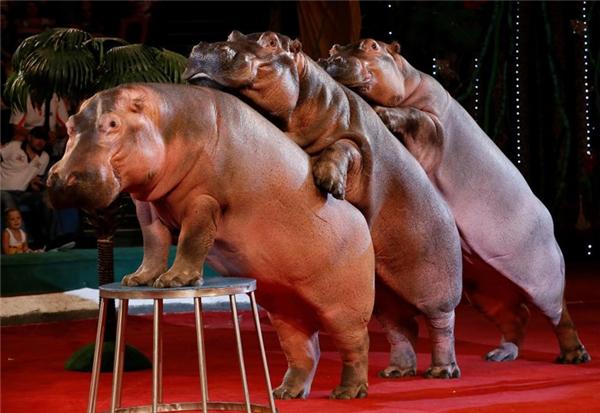 Những chú hà mã đang biểu diễn tại một rạp xiếc ở Krasnoyarsk, Siberia.