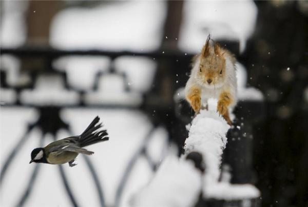 Chú chim sẻ ngô bay vụt qua trước mũi chú sóc đang chạy băng băng trên đoạn hàng rào sau cơn mưatuyết tại một công viên ở Almaty, Kazakhstan.