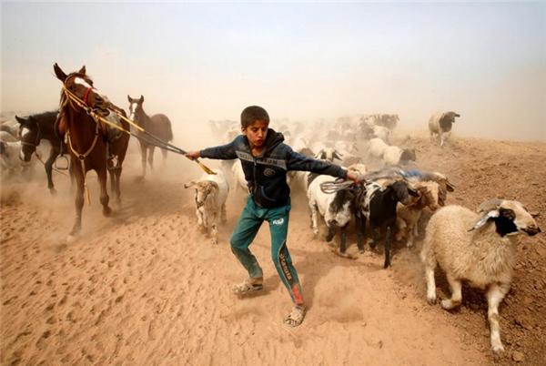 Cậu bé dắt bầy vật nuôi chạy trốn khỏi vùng chiến sự Abu Jarboa, Mosul, Iraq.