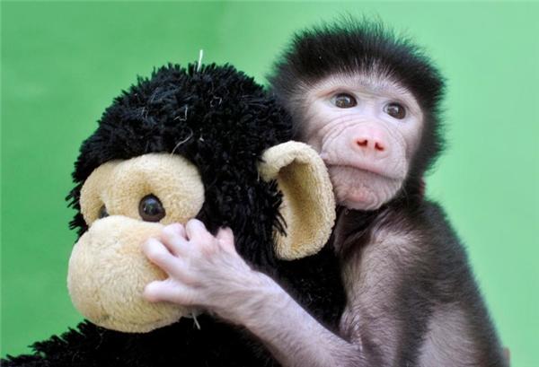 Chú Khỉ đầu chó Hamadryas 23 ngày tuổi ôm chặt lấy con khỉ nhồi bông tại Vườn thú Sri Chamarajendra, Mysuru, Ấn Độ sau khi chú bị mẹ bỏ rơi.