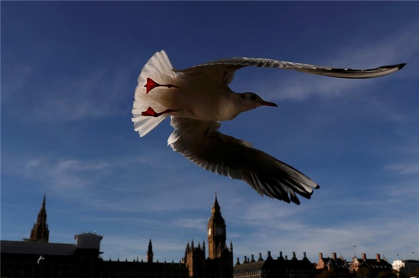 Chú mòng biển táo tợn bay ngang qua Cung điện Westminster ở London.