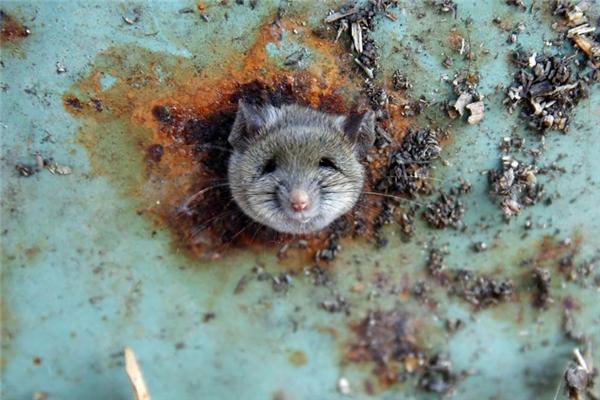 Một chú chuột bị kẹt đầu dưới đáy một thùng rác ở Brooklyn, New York.