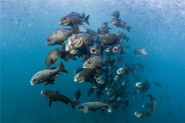 Một bầy cá đang đớp mồi. (Ảnh: Noel Guevara)