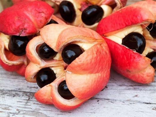 """Đây được xem là loại trái cây được """"săn đón"""" nhiều nhất hiện nay. Mang trong mình hương vị thuộc về miền nhiệt đới Tây Phi, Ackee khiến dân sành ăn bị mê hoặc bởi cấu tạo độc đáo. Khi tới mùa chín, chúng sẽ chuyển sang màu vàng và nứt ra, lộ 3 hạt đen lớn hòa quyện cùng với những múi thịt quả mềm mịn. Không những thế, loại quả này còn được xem là thần dược giảm cân khi có thể loại bỏ cholesterol và axit béo."""