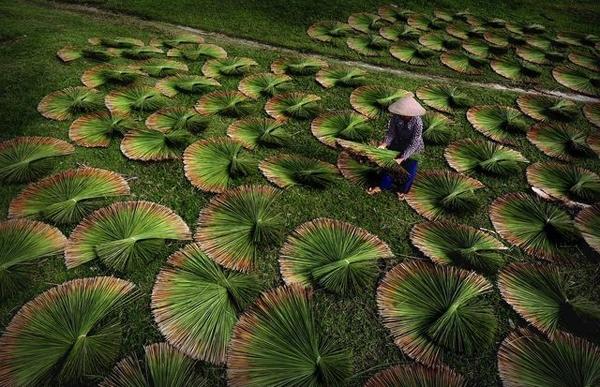 Những chùm cói bàng được phơi khô ở làng Phù Mỹ, tỉnh Kiên Giang. Dân làng ở đây thu hoạch cói bàng từ hàng trăm năm nay để làm giỏ, chiếu, túi xách và các đồ thủ công mĩ nghệ khác. Đây là bức ảnh đẹp nhất ngày 25/9 trên mục Your Shot. Ảnh: Hoang Thai.